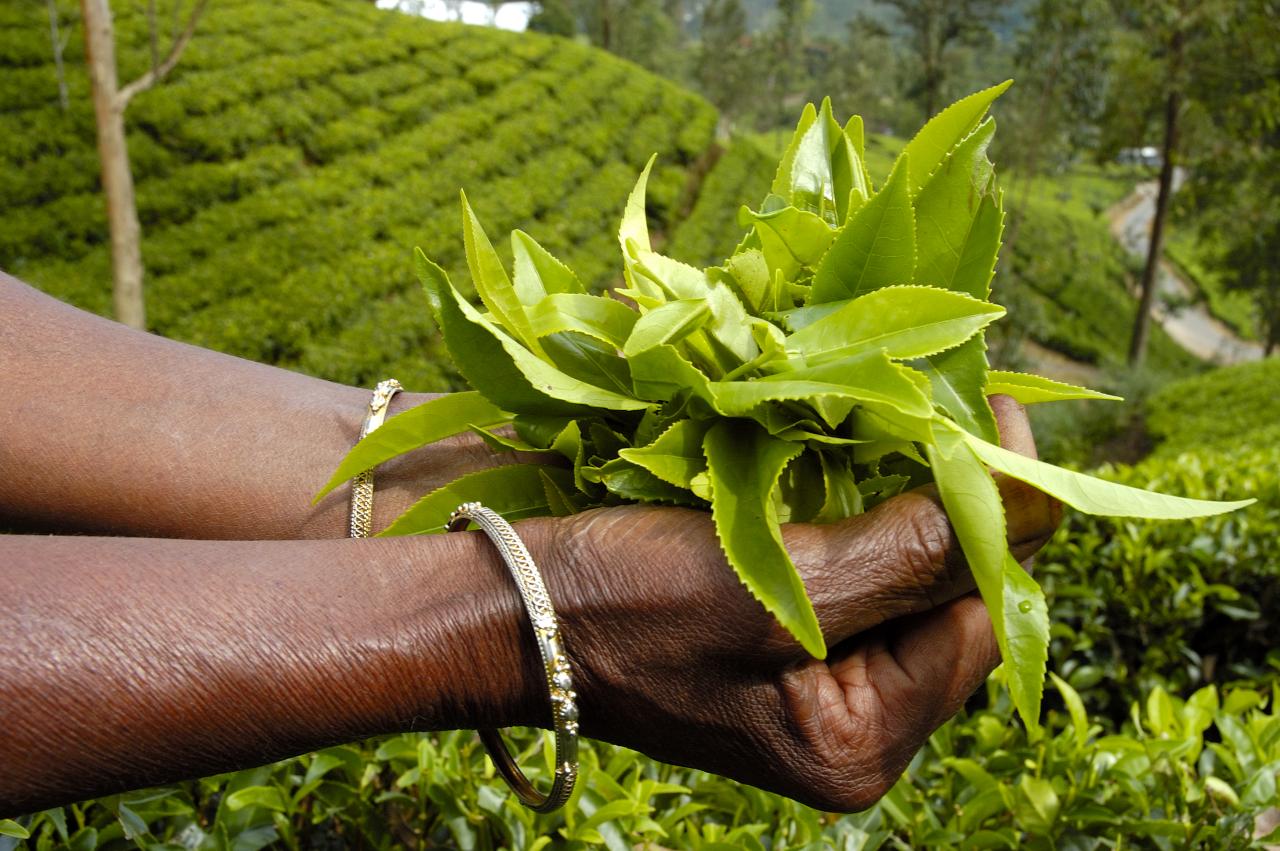 Zielona-herbata-w-kosmetykach