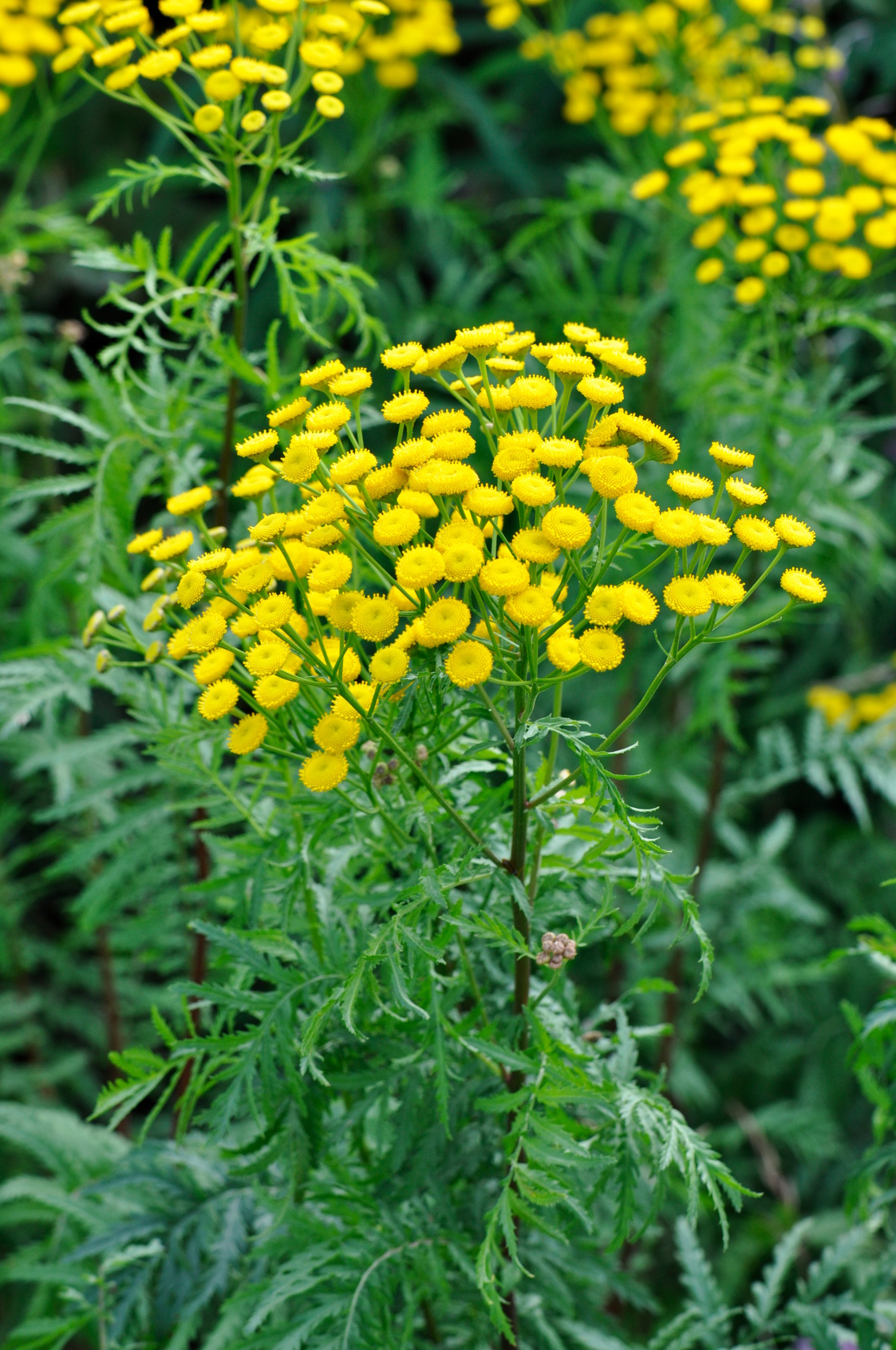 Yellow tansy growing in a meadow