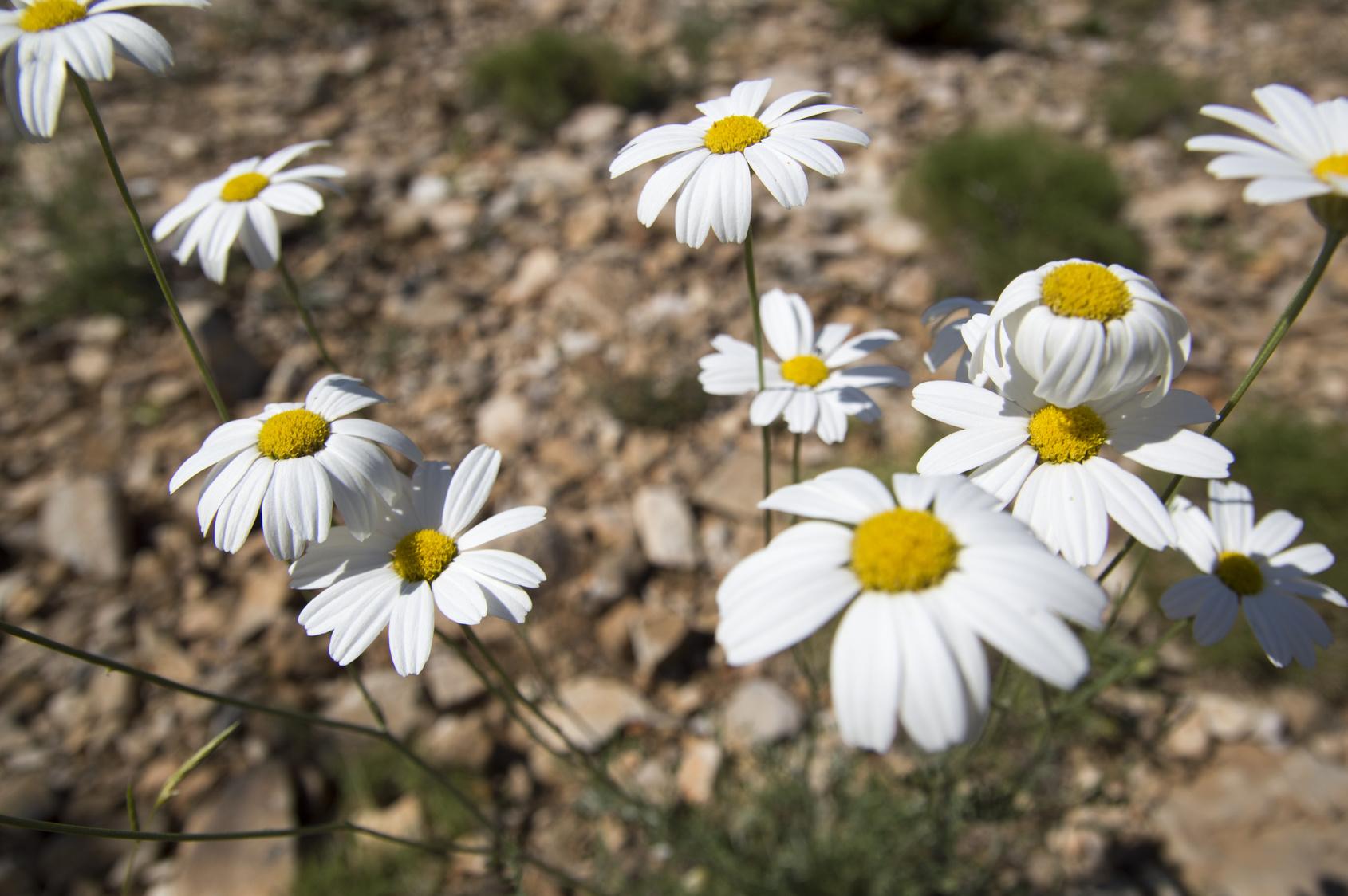 Dalmatian pyrethrum daisy (Tanacetum, Chrysanthemum cinerariifolium