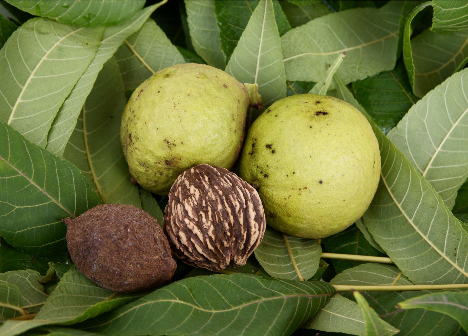 fruitsand leaves of black walnut tree