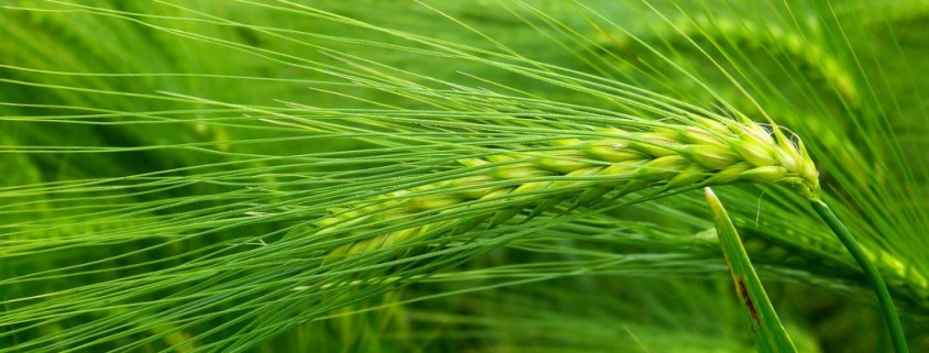 barley-grass-nutritional-information-1024x768