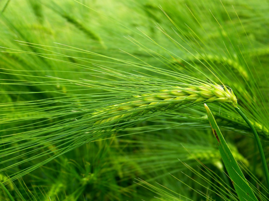 barley-grass-nutritional-information-1024x768