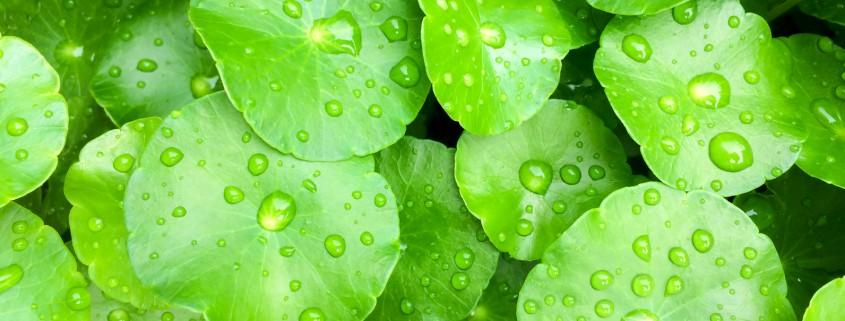 Green Centella asiatica close up.