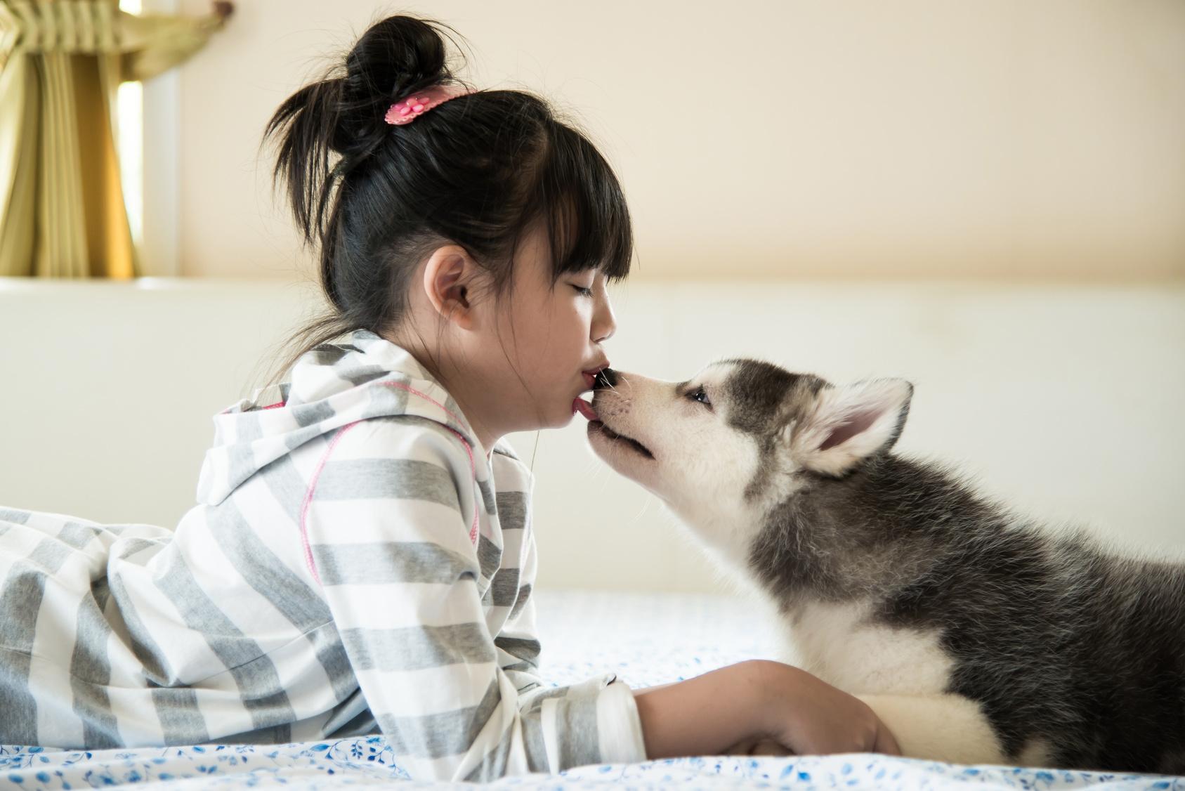 Little asian girl kissing a siberian husky puppy