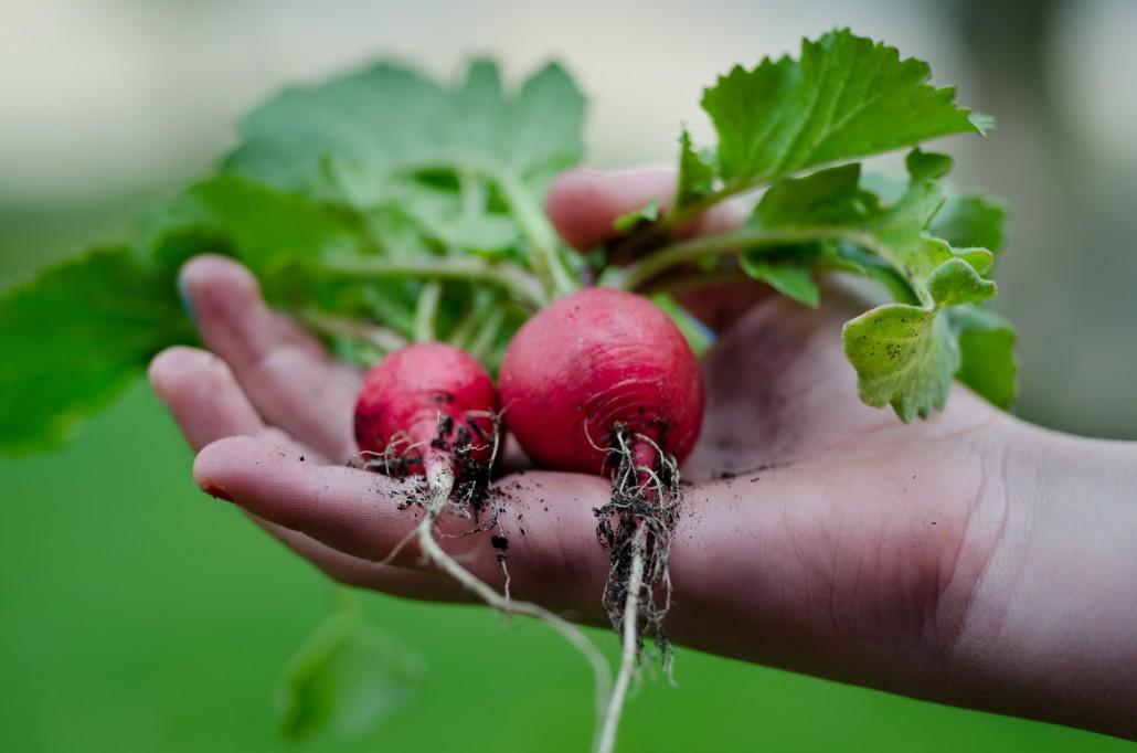 gardening-hand-harvest-9301